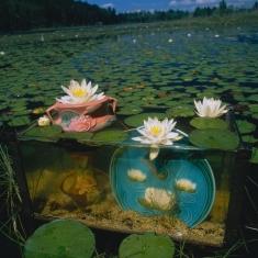 Fish Tank Sonata Ilfachrome - Lilies Wavered Upon the Limpid Stream